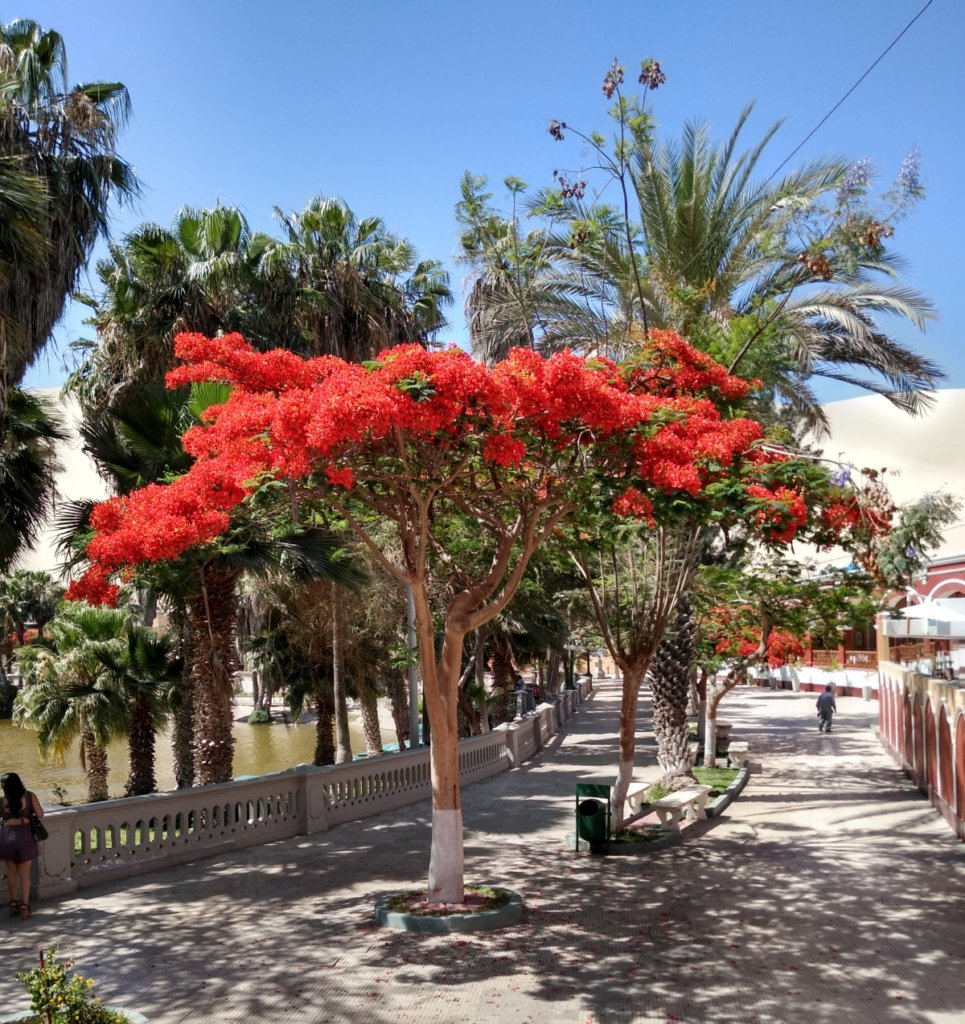 Blossoming trees in Huacachina