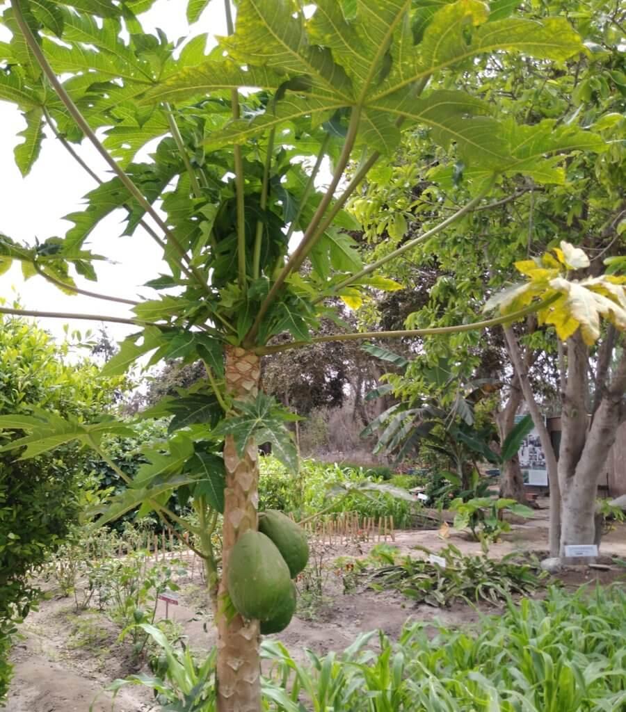 garden Pachacamac