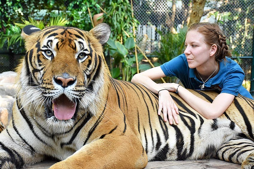 Volunteering with tigers in Thailand